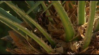 L'Ajuntament de Martorelles posarà en marxa un remei natural per salvar les palmeres del municipi