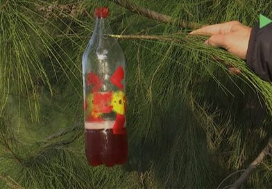 S'instal·len 30 trampes per la vespa asiàtica a Montmeló